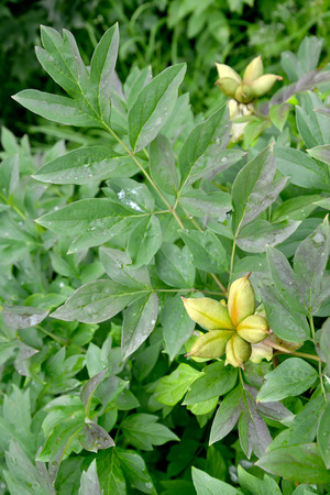 paeonia: Peony branch with green fruits (Paeonia L.)