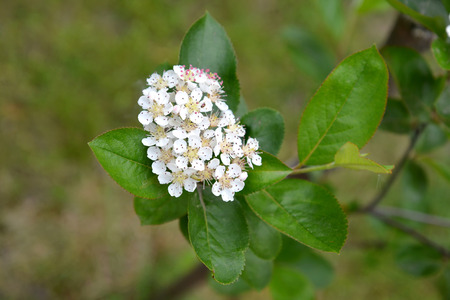 inflorescence: Inflorescence of an aroniya (mountain ash) black-fruited (Aronia melanocarpa (Michx.) Elliott)