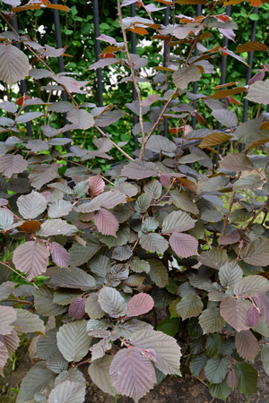 corylus: Common hazel, form purple (Corylus avellana (L.) H.Karst. f. Purpurea), young plant Stock Photo