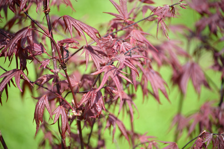 acer palmatum: Maple genevey of Bloodgood (Acer palmatum (Thunb.) Thunb.), sapling