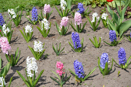asparagus bed: The blossoming hyacinths east different flowers (Hyacinthus orientalis L.) Stock Photo