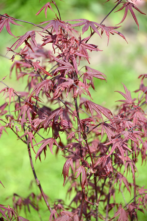 acer palmatum: Maple genevey of Bloodgood (Acer palmatum (Thunb.) Thunb.), young plant