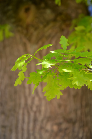 quercus robur: Young leaves of an oak of chereshchaty (Quercus robur L.) against a trunk
