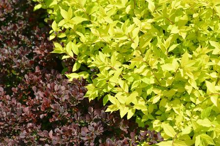 crimson colour: Spirey Japanese (Spiraea japonica L.f.), grade of Golden princess and Tunbergs barberry (Berberis thunbergii DC.), grade of Atropurpurea. Spring Stock Photo