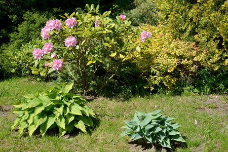 ericaceae: Corner of park with the blossoming rhododendron and hosts. Spring Stock Photo