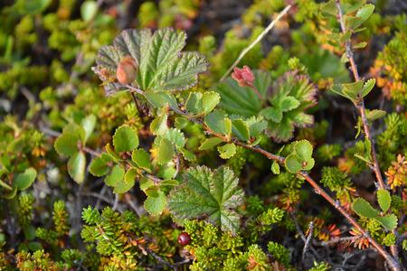 dwarfish: Tundra vegetation on the Kola Peninsula