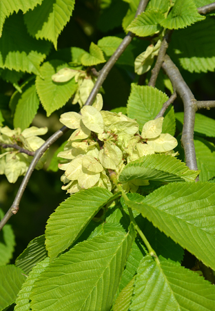 blossoming yellow flower tree: The blossoming elm rough, a form  drooping  (Ulmus glabra Huds., var. pendula),  the lagre plan Stock Photo