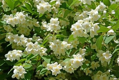 hydrangeaceae: The blossoming mock orange - a false jasmine (Philadelphus L.), background