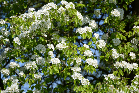 communis: The blossoming pear ordinary (Pyrus communis L.). Spring