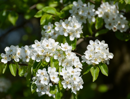 communis: Flowers of a pear ordinary (Pyrus communis L.), close up