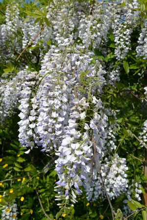 The blossoming wistaria (Wisteria Nutt.), close up
