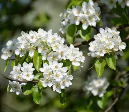 communis: Branch with flowers of a pear ordinary (Pyrus communis L.), close up