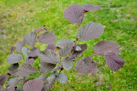 corylus: Common hazel, form purple (Corylus avellana (L.) H.Karst. f. Purpurea), a branch with leaves against a grass Stock Photo