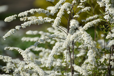 The blossoming meadowsweet of Argut, or ostrozazubrenny (Spiraea arguta) Stock Photo