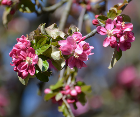 The blossoming apple-tree of Nedzvetsky (Malus niedzwetzkyana Dieck). A branch with flowers