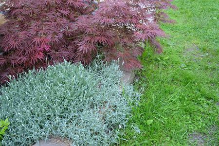 Maple dlanevidny of Bloodgood (Acer palmatum (Thunb.) Thunb.) and Bibersteins (Cerastium biebersteinii) chickweed in park