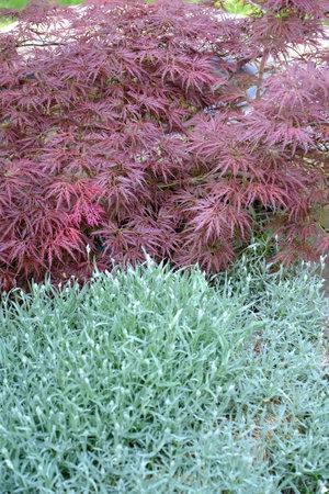 Maple dlanevidny of Bloodgood (Acer palmatum (Thunb.) Thunb.) and Bibersteins (Cerastium biebersteinii) chickweed Editorial