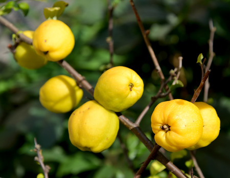 ex: Ripe fruits of a quince Japanese (Chaenomeles japonica (Thunb.) Lindl. ex Spach) on a branch