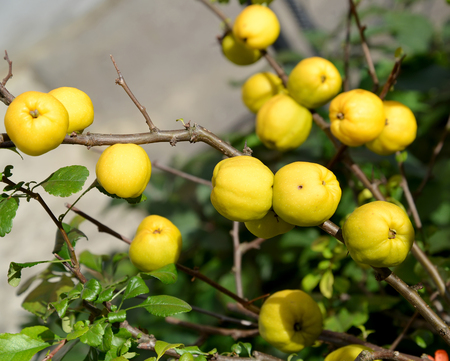 ex: Harvest of fruits of a quince Japanese (Chaenomeles japonica (Thunb.) Lindl. ex Spach) Stock Photo