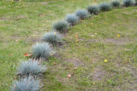 fescue: The fescue blue (gray) (Festuca cinerea) is planted on a lawn