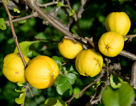 Ripe fruits of a quince Japanese (Chaenomeles japonica (Thunb.) Lindl. ex Spach), close up Stock Photo