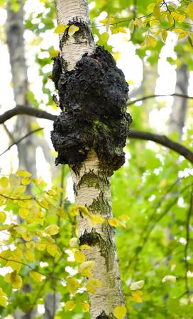 자작 나무 트렁크에 chag의 버섯 (Inonotus obliquus (Ach.ex pers.) Pil.) 스톡 콘텐츠