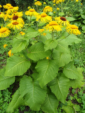 Blossoming Inula high (Inula helenium L. )