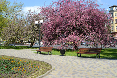 KALININGRAD, RUSSIA - MAY 08, 2016: Spring square with the blossoming Nedzvetskys apple-tree