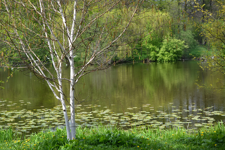 The blossoming birch useful (Himalaya) (Betula utilis D.Don) grows on the bank of a pond