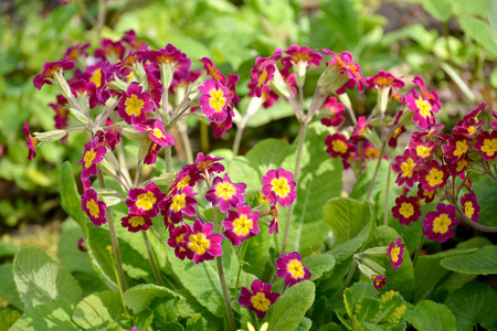 claret: The blossoming primrose (primrose) claret Stock Photo