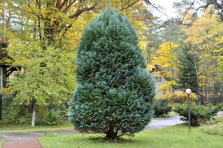 thuja: Thuja east blue  (Platycladus orientalis (L.) Franco) Franco) grows in the square