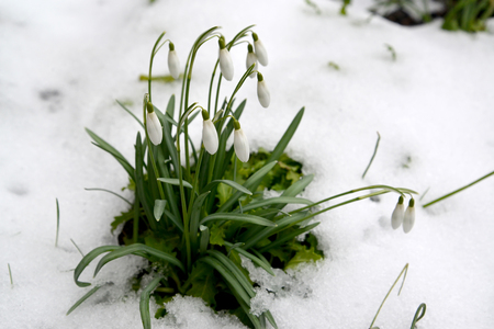 The blossoming snowdrop snow-white (Galanthus nivalis L.) among snow Stock Photo