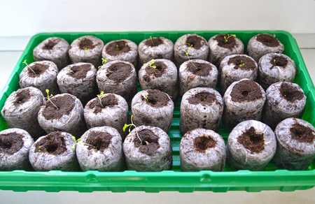 Cultivation of vegetable seedling in peat tablets Stock Photo