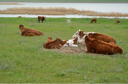 Cows with calfs are grazed on the river bank Manych. Kalmykia