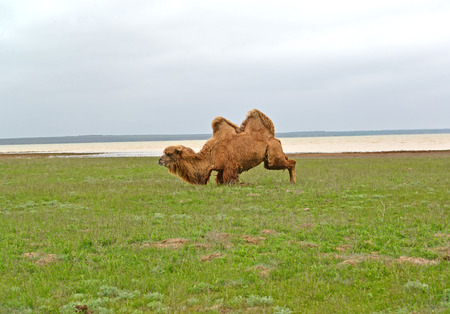 The two-humped camel gets on hind legs. Coast of the lake Manych-Gudilo, Kalmykia Stock fotó