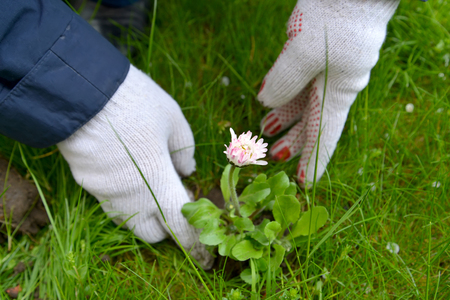 The man plants daisy seedling to the open ground Stock Photo