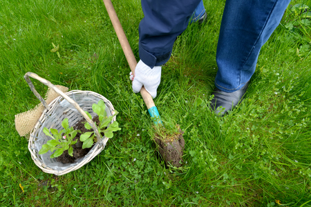 The man digs out a hole for planting of seedling of a daisy to the open ground