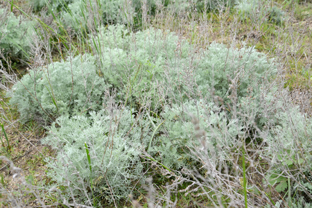 longterm: Wormwood Austrian (Artemisia austriaca Jacq.), young plants in the spring