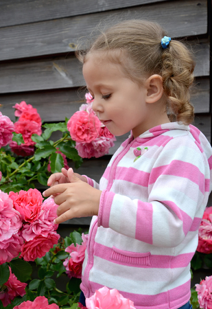 The little girl looks at the blossoming roses Stock Photo