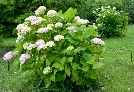 Bush of the blossoming hydrangea (Hydrangea L.) in a garden