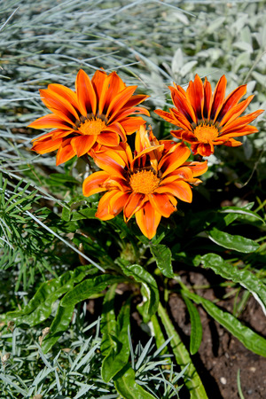 Orange flowers of a gazaniya (gatsaniya) hardish (Gazania rigens (L.) Gaertn.)
