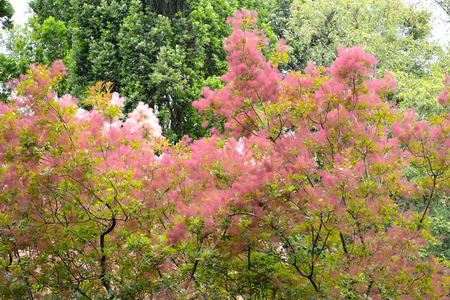 Wig-tree (Cotinus coggygria Scop.) with pink veins Stock Photo
