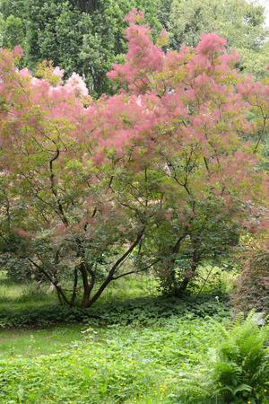 분홍색 털이있는 가발 (Cotinus coggygria Scop.)