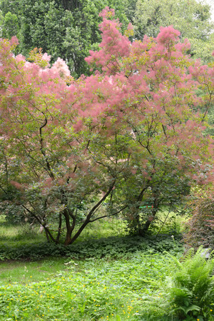 Wig-tree (Cotinus coggygria Scop.) with pink hairs Banco de Imagens