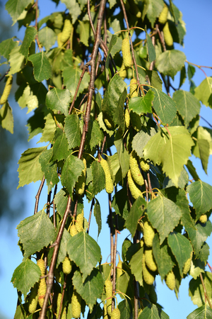 Birch weeping (warty) (Betula pendula Roth). Branches with green earrings and leaves