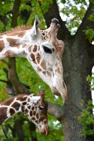 giraffa camelopardalis reticulata: Two mesh giraffe (Giraffa camelopardalis reticulata Linnaeus), portrait in a profile Stock Photo