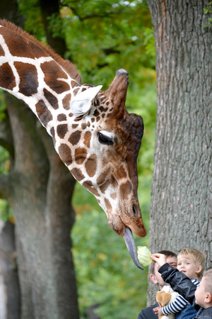 KALININGRAD, RUSSIA - OCTOBER 01, 2016: Children feed a giraffe of mesh (Giraffa camelopardalis reticulata Linnaeus) in a zoo