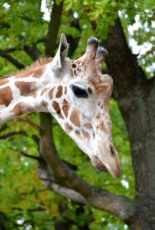 giraffa camelopardalis reticulata: The head of a giraffe of mesh (Giraffa camelopardalis reticulata Linnaeus) in a profile