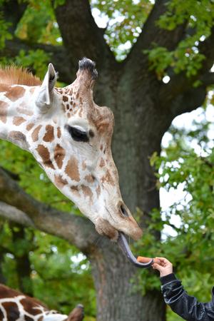 The giraffe mesh (Giraffa camelopardalis reticulata Linnaeus) takes carrots from a childrens hand Stock Photo