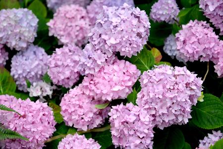 Pink inflorescences of a hydrangea (Hydrangea L.) close up Stock Photo